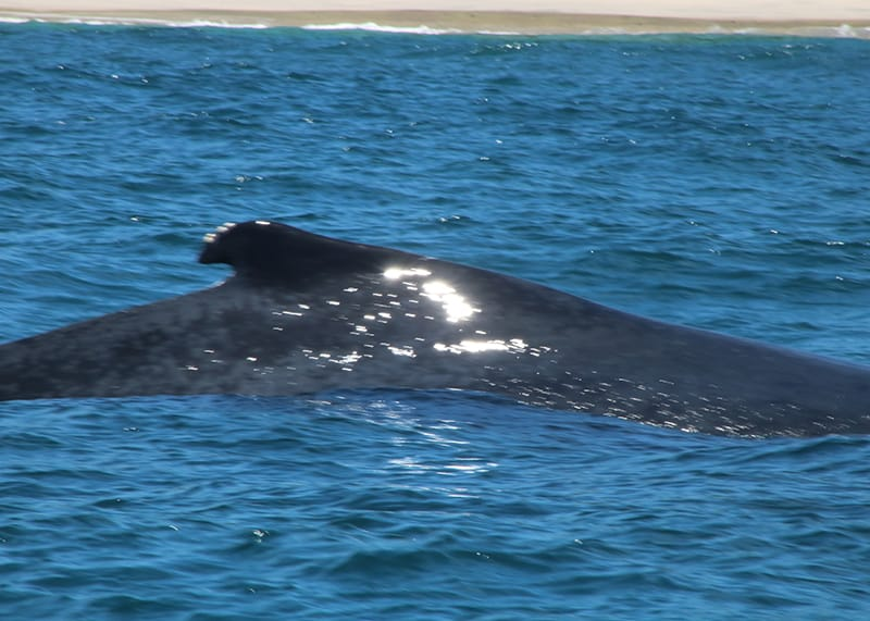 Whale watching Chiriqui 1