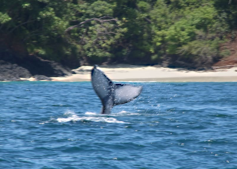 Whale watching Chiriqui 2